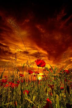 Poppies at sunset, Tuscany, Italy