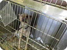 URGENT! L.A. Kill Shelter! Los Angeles, CA - Jindo Mix. Meet A1147611, a dog for adoption. http://www.adoptapet.com/pet/15005823-los-angeles-california-jindo-mix