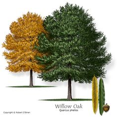 Willow Oak Texas native, reliable fall color, seeds or fruit eaten by wildlife Features:	Narrow, light green leaves turn yellow-brown in the fall. Comments: Fine twigs and strong branch structure. Prefers moist conditions. Problems:	Thin bark is easily damaged; foliage will turn chlorotic on alkaline soils.