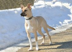 """Lucy is a wonderful dog. She walks well on her leash, is housebroken and is very affectionate.Lucy is in need of an experienced owner,or an owner who is willing to work with her at training and maybe even agility. She wants her """"someone""""..."""