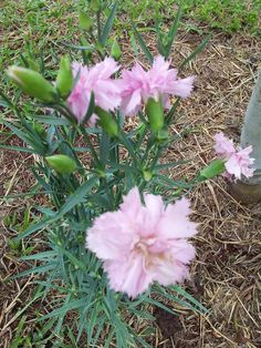 cravo lilás