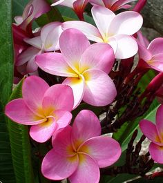 Island Plumeria is the enchanting and effusive fragrant scent of the most popular of lei flowers. These flowers are treasured by the Polynesian Islanders for their durability, and their nuances of fragrances and colors: whites, yellows, pinks, reds, and multiple variegated pastels.