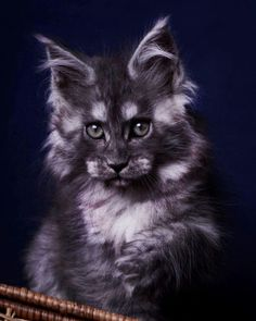 Big Cats, Crazy Cats, Cool Cats, Cats And Kittens, Pretty Cats, Beautiful Cats, Animals Beautiful, Warrior Cats, Maine Coon Kittens