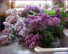 My sink runneth over, a table for 2 and the Grand-daddy of all lilac festivals! Childhood Images, Childhood Memories, Lilacs, Lily Of The Valley, Garden Inspiration, Lavender, Fragrance, Violets, Spring