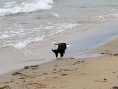 Eagle doing a little beach-combing on Lake Huron. East Tawas, MI