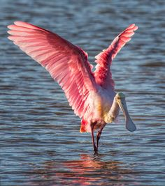 Photo Story: Roseate Spoonbill Flapping its Wings – Plus a Processing Tip | Martin Belan