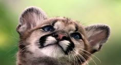 Mountain Lion Cubs Wallpaper Baby Animals Animals Wallpapers) – Wallpapers For Desktop Big Cats, Crazy Cats, Cats And Kittens, Amor Animal, Mundo Animal, Beautiful Cats, Animals Beautiful, Cubs Wallpaper, Wildlife Wallpaper