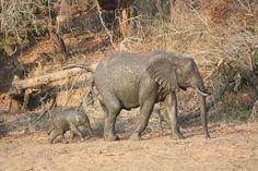 Tiny baby elephant after a mud bath - Kruger National Park