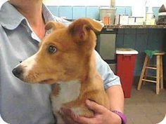 Albuquerque, NM - Australian Shepherd Mix. Meet ZELDA, a puppy for adoption. http://www.adoptapet.com/pet/15824227-albuquerque-new-mexico-australian-shepherd-mix
