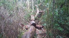 Documento do IAP autorizava o desmatamento de até 0,2 hectare de mata nativa e Polícia Ambiental detectou supressão de 0,8 hectare