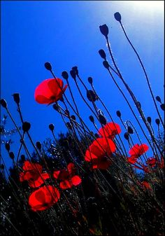 """""""Amapolas y cielo azul...""""  someone left this comment... I only understand azul (blue)...maybe """"poppies against a sky of blue?""""  No habla el espanol..."""
