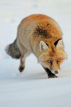 Red fox | by Vittorio Ricci