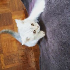 I'm a climber ;-) #ninjacat #britishshorthair #britishshorthairportugal #britishshorthairportugal #algarve #loule #portugal #catsofinstagram #cat #cutenessoverload #cuteness #cutenessalert #beautifulcat #whiskas #britishshorthaireurope #topcatcrew #lovemycat #igcutest_animals #catoftheday #photooftheday #pawsome #ilovemycat #kitten #instakitten #sweetcat #sillycat by reverendo_bonifacio