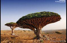 """Chamada de """"Dragoeiro"""", essas belas árvores precisam ser bem resistentes pra sobreviverem no solo seco do Iémen"""