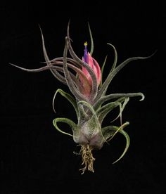 Plant Oddities-Tillandsia pruinosa