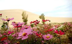 пустыня, цветы, дюны, песок