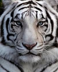my favorite animal...the white tiger (i think it's actually albino)