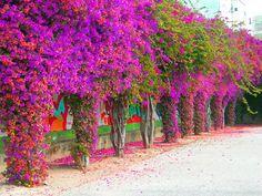 bougainvillea climbing on a tree Outdoor Plants, Garden Plants, Outdoor Gardens, Santa Rita Planta, Tropical Landscaping, Garden Landscaping, Beautiful Gardens, Beautiful Flowers, Spanish Flowers