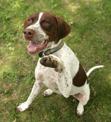 """Explore our web site for even more info on """"pointer pup"""". It is an excellent location to find out more. Pointer Puppies, Dogs And Puppies, English Pointer Dog, Purebred Dogs, German Shorthaired Pointer, Losing A Dog, Hunting Dogs, Training Your Dog, Dog Owners"""