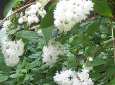 Deutzia scabra (Bruidsbloem)