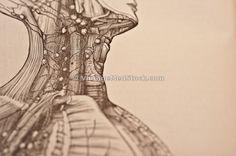 pituitary, glandular, lymphnode