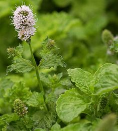 Organic Peppermint Oil - credited with refreshing, cooling, bactericidal and anti-irritation and itching properties.