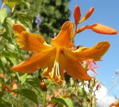 Crocosmia Star of the East - A real favourite for it's sheer bravado and flower power. The orange is tempered by the paler throat. One of the largest flowered and vigorous in growth. A George Davison hybrid bred between 1895 - 1912. Flowering SW UK August.
