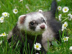 A fantastically cute little ferret prancing through a field of wildflowers. #cute #ferret #animals