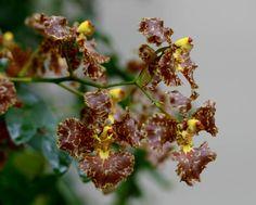 Oncidium Divaricatum | ... oncidium curtum oncidium divaricatum oncidium fimbriatum oncidium