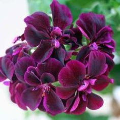 Pelargonium x peltatum 'Contessa Purple (Black Magic)' Geranium