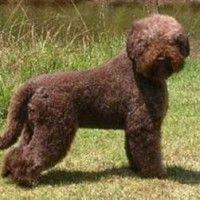 #dogalize Razze cani: il cane Lagotto Romagnolo carattere e prezzo #dogs #cats #pets