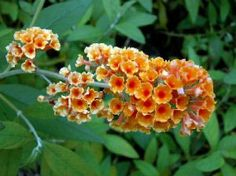"""Flutterby Grande 'Tangerine Dream' Butterfly Bush - Buddleia -Potted-Sweet Aroma by Hirts: Butterfly Bush. $12.99. Hardy in zones 5-9. Loves the sun. Blooms early spring to late summer. Immediate shipping in 4"""" pots. Shipped dormant in the winter.. Height: 48-72 inches. BUDDLEIA: Graceful gray-green foliage arches with flowers from summer into fall. The common name aptly describes this garden beauty. It does not wake up until late spring, but it's worth the wait! Fl..."""