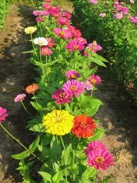 Zinnia-attract butterflies to garden and are easy to grow.  Make good cut flowers