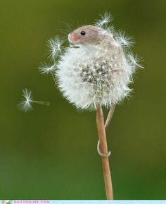 Mouse in a dandelion