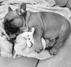 "Sweet French Bulldog Puppy, ""Nappin' with a 'nana."""