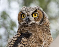 May 28, 2016. We revisited the Great Horned Owl nest that we discovered a month earlier. The three juveniles had left the nest and were flying but staying close to the nest. This youngster let us approach to within a few meters to get this shot.  The Great Horned Owl (Bubo virginianus) is extremely adaptable to a wide variety of habitats and is distributed over a range that extends from Alaska and northern Canada south to Argentina.  This image was taken in the desert habitat of the northern…