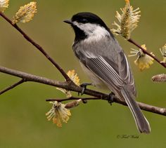 chickadee pictures | Picture by Artie Chauhan