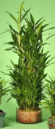 How to take Care of lucky bamboo . How to take Care of lucky bamboo Lucky Bamboo Care, Lucky Bamboo Plants, Bamboo Garden, Bamboo Tree, Bamboo Plant Care, Low Maintenance Indoor Plants, Bamboo Stalks, Cactus, Inside Plants