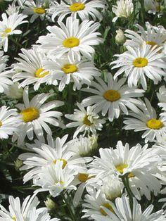Chrysanthemum White Breeze