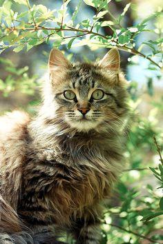 The eyes, cat
