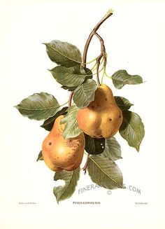 Antique print: picture of Pears - Pyris communis