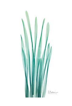 Radiant Bamboo Leaf Art Print by Albert Koetsier at Art.co.uk