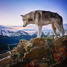 """Chasing angels or fleeing demons, go to the mountains"" ~Jeffrey Rasley Types Of Dogs, Alaskan Malamute, Trek, Husky, Wolfdog, Racing, Adventure, Mountains, Demons"