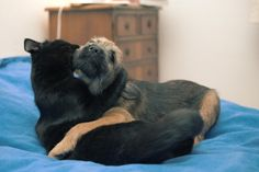 Every Cat Should Have Its Own Dog: Cute pictures of dogs, puppies, cats and kittens together. Adorable photos that show cats and dogs can get along! Border Terrier, Cairn Terrier, Dog Love, Puppy Love, Cat Diseases, Gato Grande, Cat Vs Dog, National Puppy Day, Funny Cats And Dogs