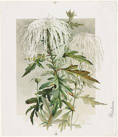 Medusa Chrysanthemum | File name: 07_11_000438 Title: Medusa… | Flickr