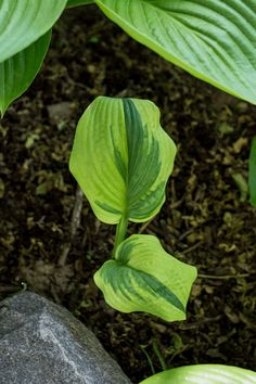 Hostas are an easy-to-grow, low-maintenance perennial plant perfect for shade gardens and low-light areas in your landscape. While you can buy them as potted plants, they're often much more affordable to buy as bare-root plants, sold alongside flowering bulbs. Here's everything you need to know about planting hosta bulbs! Low Maintenance Landscaping, Low Maintenance Garden, Hosta Plants, Perennial Plant, Potted Plants, Shade Landscaping, Sensitive Plant, Landscape Plans, Bulb Flowers