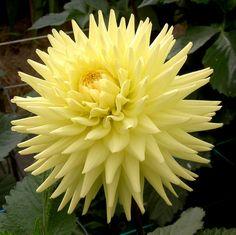"Oakwood Goldcrest Dahlia (6-8"" bloom): yellow blends; semi-cactus; good show flower."