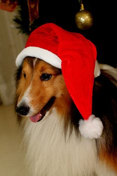 Christmas Pooch  ..                      she looks like my collie,she was a beautiful dog.
