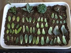***How to Propagate Succulents from Leaves: 5 Steps (with Pictures)