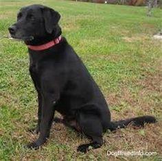 Found Dog - Labrador Retriever - Fergus, ON, Canada N1M 1N7 on November 08, 2014 (13:00 PM)